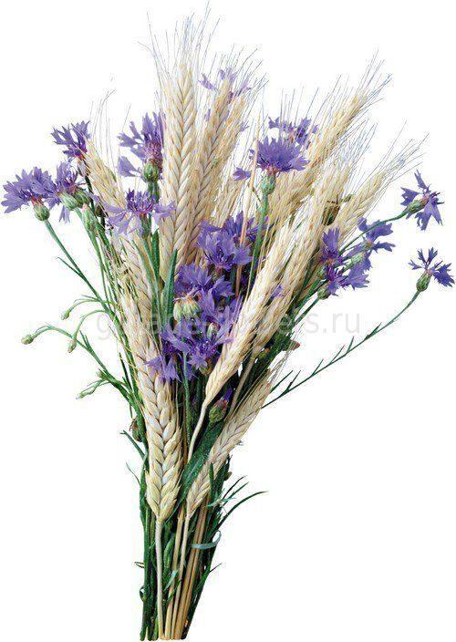Цветы васильки купить санкт-петербург купить срезанные цветы москве